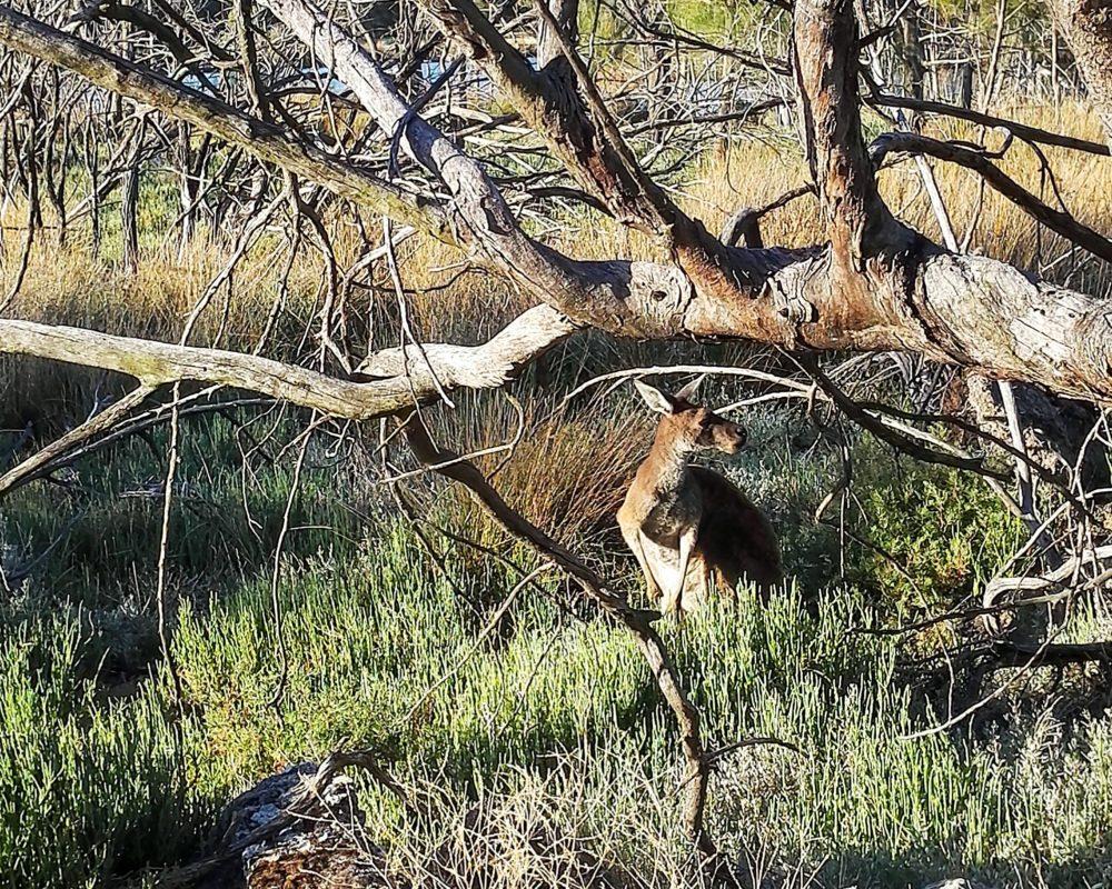 kangaroo in lake monger