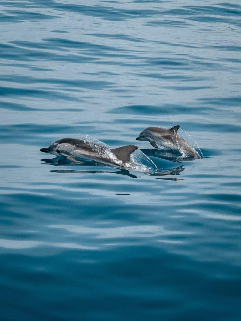 dolphins gran canaria
